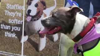 Staffies. They're softer than you think at Battersea's Old Windsor Fun Day