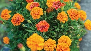 Burpee's 'Triple Treat' Marigold