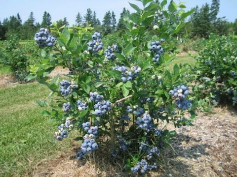 , title : 'How to Plant Blueberry Bushes