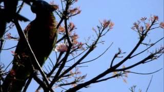 St Lucian Parrot