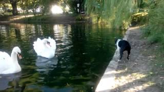 Бостон терьер лает и играет с лебедями