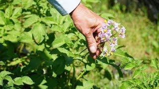 Обрывать ли цветки на картошке видео