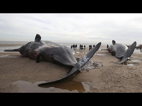 Έφτασαν τις 17 οι νεκρές φάλαινες σε Βρετανία, Γερμανία και Ολλανδία
