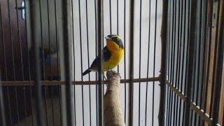Suara Burung Mantenan Suara Bagus Untuk Master Pleci