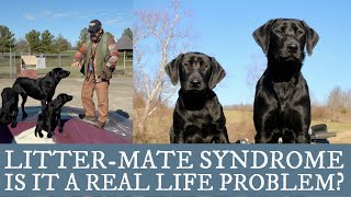 Labrador Retriever Training -  An Overview of Littermate Syndrome