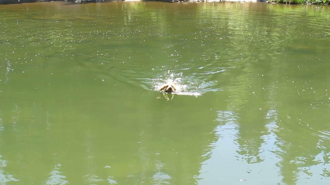 Хрюкающая собака и апорт