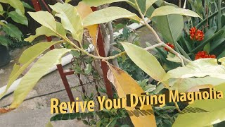 How To Revive Your Dying Michelia Alba X or Magnolia Tree