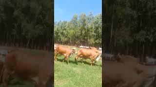 Bovino Leite Gir Vaca - e-rural Imagens