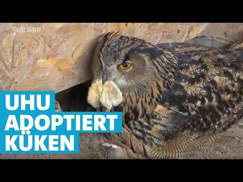 Tierische Adoption - Uhu-Mama zieht Hühnerküken auf | SWR | Landesschau Rheinland-Pfalz