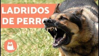 Ladridos de Perro - Muy bueno!! barking dogs