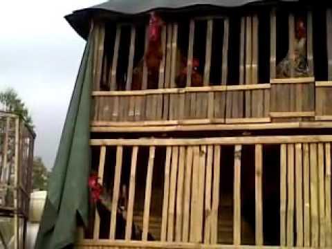 Video Cara Tepat Merawat dan Melatih Ayam Pelung   konstruksi kandang paling ideal