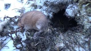 Как правильно ловить мордушкой в хатке ондатры