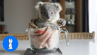 Baby Koala Bears Playing & Climbing - Animal Compilations
