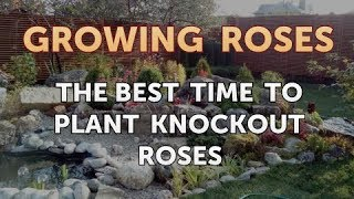 The Best Time to Plant Knockout Roses
