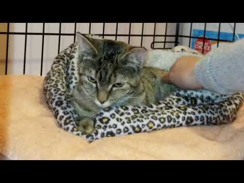 Buffy, an adopted Domestic Short Hair & Tortoiseshell Mix in Dartmouth, NS