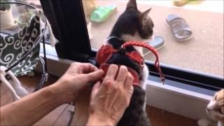 猫ハーネス56nyanの付け方防災・緊急避難に備えて:猫おもしろ動画『こむぎ&だいず』