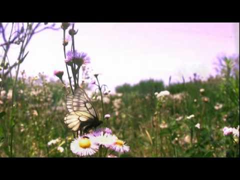 ウスバシロチョウの飛翔