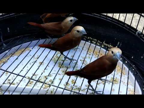 Video Burung Emprit Kaji Emprit Haji