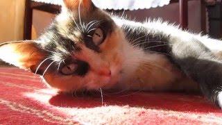 Кошка Макаронка после сытного обеда нежится на солнышке.