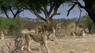 Defeated lions- Wildlife brave Giraffe ten lion to save baby