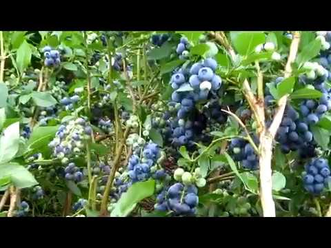 Голубика   выращивание и уход.  Важные заметки из личного опыта.