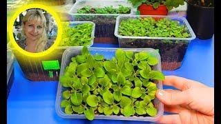 Самый удачный способ выращивания петунии видео