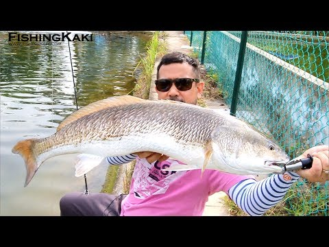 FishingKaki.com – Zerek Live Flash Minnow @ I.W.F C&R Pond