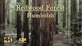 Flying Through The Redwood Forest - Humboldt Drone Video