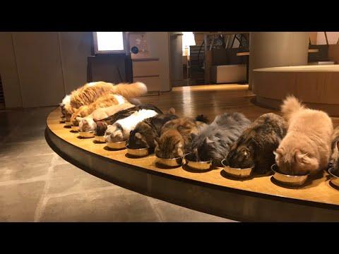 Too Cute to Be True - Japan's Famous Cat Café