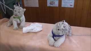 生後2ヶ月のホワイトタイガーの赤ちゃん2monthsbabyWhiteTigers