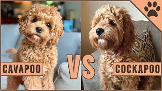 Cavapoo vs Cockapoo - Compare Two Poodle Mix Breeds