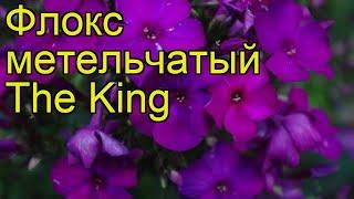 Флокс метельчатый Зе Кинг. Краткий обзор, описание характеристик phlox paniculata The King
