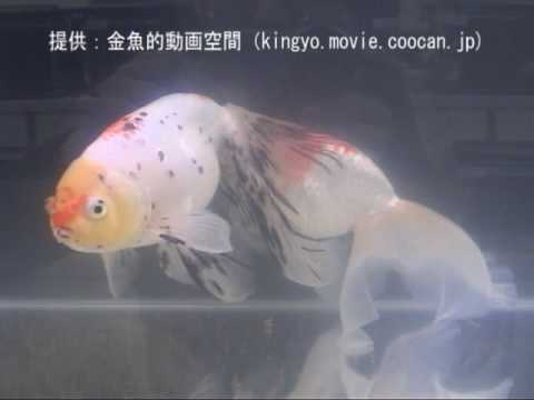 [津軽錦]第27回日本観賞魚フェア 親魚の部 準優勝:中島養魚場持魚