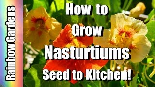 How to Grow Nasturtiums, A Superfood!! Yes REALLY!!!!!  Seed To Kitchen,  Easy to Grow!