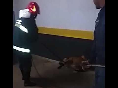 Lobo-guará é encontrado em garagem de hotel no Centro da cidade