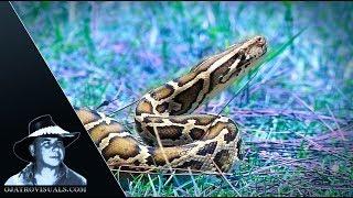 Aggressive Pythons 05 Footage