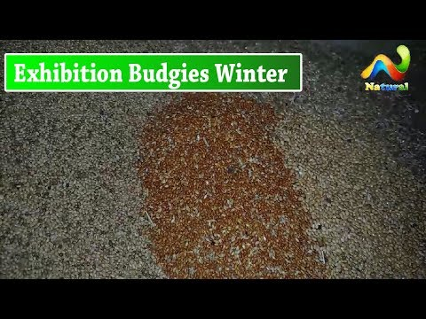 Exhibition and Hagoromo Budgies Winter Mix Feed |  Urdu/Hindi