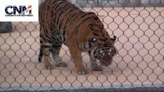 Powerful Tiger!