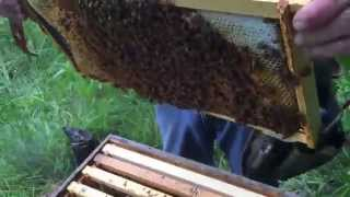 Splitting a honey bee hive too early with winter bees PART 1