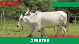 Bovino Corte Nelore Vaca - e-rural Imagens