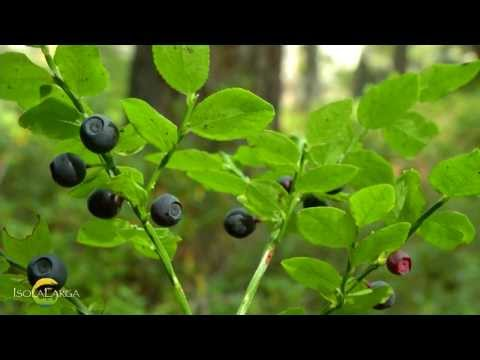 Mirtillo nero - Vaccinium myrtillus