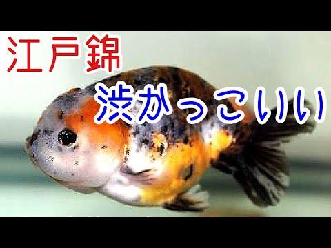 新しい金魚お迎え!江戸錦・信州オランダ・信州東錦