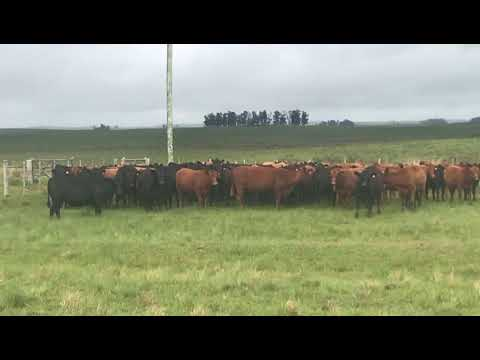 Afiche 94 Vacas preñadas  - Rivera