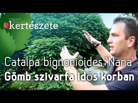 Gömb szivarfa idős korban - Catalpa bignonioides 'Nana' - Megyeri Kertészet Szolnok letöltés