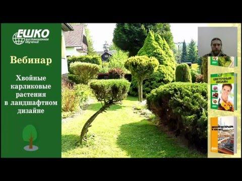 Хвойные карликовые растения в ландшафтном дизайне