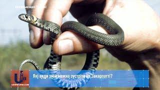 Які види змій можна зустріти на Закарпатті?