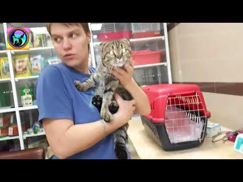 Спасаем Вислоухую кошку Почему нельзя разводить породу Скоттиш фолд animal shelter