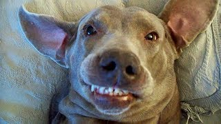Смешные собаки Приколы про собак Funny Dogs 2019 (Самые Атомные шриколы)