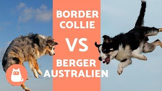 Border Collie Vs Berger Australien - LES DIFFÉRENCES