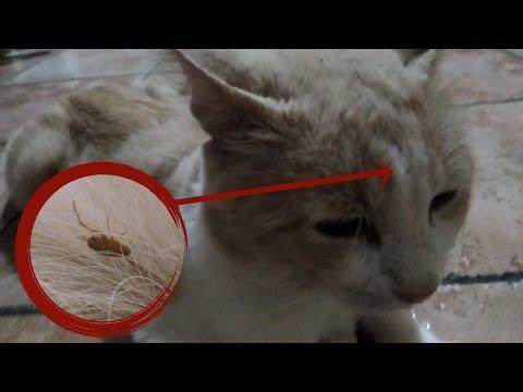 Se i vermi possono influenzare una perdita di capelli